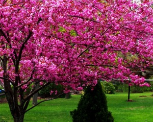 Backyard Tree in Bloom