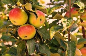 Nashoba Valley Apples, Bolton, MA